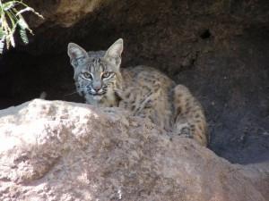 bobcat80012
